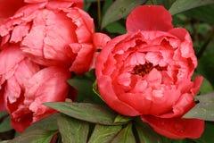 Têtes de fleur rouges de pivoine Image libre de droits