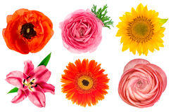 Têtes de fleur simples Lis, ranunculus, tournesol, gerber, anemon Image libre de droits