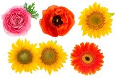 Têtes de fleur simples Ranunculus, tournesol, gerber Image libre de droits