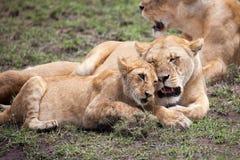 Têtes de frottage de lionne et de petit animal Image libre de droits