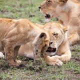 Têtes de frottage de lionne et de petit animal Photo libre de droits