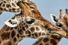 Têtes de girafe photographie stock libre de droits