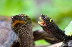 Têtes de tortues Photo stock