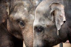 Têtes des éléphants asiatiques Image libre de droits