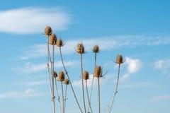 Têtes sèches de chardon sous le ciel bleu Images libres de droits
