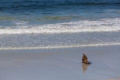 Título australiano del sello del león marino hacia el océano imagenes de archivo