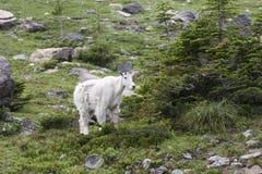 Título da cabra de montanha para a terra mais elevada Fotografia de Stock