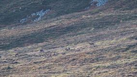 Título: hinds e veado dos veados vermelhos que andam em uma inclinação no parque nacional dos quartzos defumados durante o cio filme
