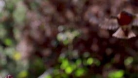 Título: Petirrojo europeo, rubecula del Erithacus, vuelo de la cámara lenta que viene aterrizar con la luz pilota almacen de metraje de vídeo