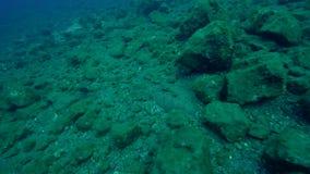 Título: Platija del pavo real, mancus florido de Bothus de la platija en la isla de Socorro del archipiélago de Revillagigedo almacen de metraje de vídeo