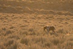 Título salvaje joven de la potra en la puesta del sol Imagen de archivo libre de regalías
