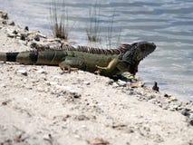 Título verde selvagem da iguana no lago Fotos de Stock