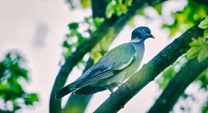 Tórtola en la rama de árbol Foto de archivo libre de regalías