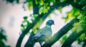 Tórtola en la rama de árbol Fotos de archivo