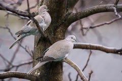 Tórtola en un árbol que tiembla en frío fotografía de archivo libre de regalías