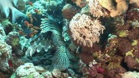 Tóxico peligroso del cabracho en paisaje subacuático de los corales en el Mar Rojo almacen de video