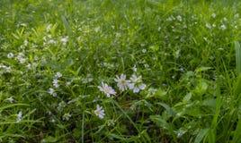 Tôt ressort les premières fleurs blanches de la forêt image libre de droits