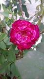Tödliche Rose stockfoto