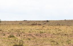 Tödliches Spiel beendet Gepard mit Beute Kenia, Afrika lizenzfreie stockfotografie