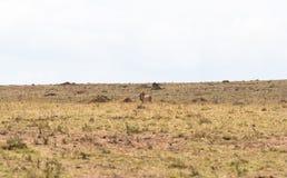 Tödliches Spiel beendet Gepard mit Beute Savanne von Kenia, Afrika stockbild