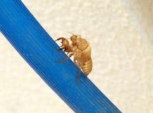 Töm skalet av cikadan som överges efter metamorphosi Arkivbilder