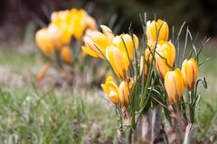 Töpfe Gänseblümchen und Viola mit Kelle, Landwirt und Gießkanne auf bebautem Boden Lizenzfreies Stockfoto