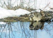 törstig raccoon Fotografering för Bildbyråer