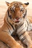 törstig tiger 2 Fotografering för Bildbyråer