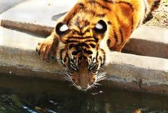 Törstig tiger Royaltyfri Fotografi