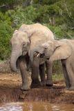 törstiga elefanter arkivfoton