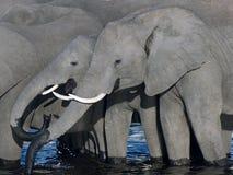 törstiga elefanter royaltyfria bilder