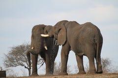 törstiga elefanter Arkivfoto