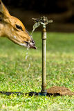 törstigt djur Royaltyfria Foton
