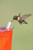 törstigt throated för hummingbirdruby Royaltyfria Foton