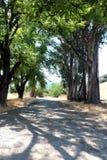 Túnel da árvore de eucalipto fotografia de stock royalty free