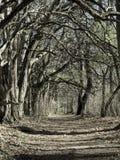 Túnel da árvore no inverno Imagem de Stock