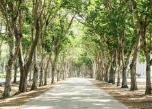 Túnel de árvores verdes Fotos de Stock Royalty Free