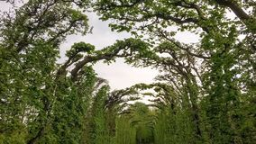 Túnel de ramos torcidos fotografia de stock royalty free
