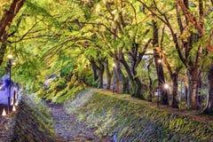 Túnel del árbol de arce Fotografía de archivo libre de regalías