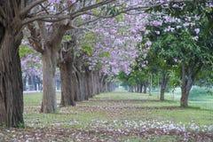 Túnel del árbol, el túnel romántico de los árboles rosados de la flor imagenes de archivo