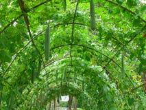 Túnel del follaje de las plantas de la lufa en el jardín botánico Foto de archivo libre de regalías