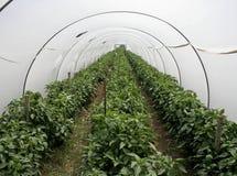 Túnel del invernadero Imagenes de archivo