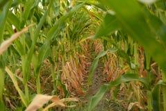 Túnel del maíz Fotos de archivo