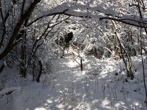 Túnel nevado de branchces da árvore Imagens de Stock Royalty Free
