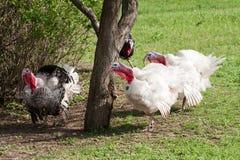 Türkei-Mann oder -Gobbler, die auf einem Hintergrund des grünen Grases weiden lassen stockbild