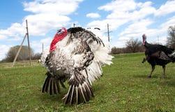 Türkei-Mann oder -Gobbler im Dorf stockbild