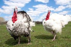 Türkei-Mann oder -Gobbler im Dorf lizenzfreies stockfoto