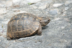 Türkei. The turtle in Gökova Park royalty free stock photo