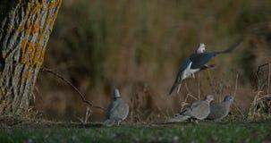 Türkentaube, Streptopelia decaocto, Erwachsener im Flug, Gruppe, die auf Gras steht, Normandie in Frankreich, stock video
