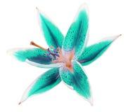 Türkis-blaue Blume der Lilie auf einem weißen Hintergrund lokalisiert mit Beschneidungspfad Für Auslegung Lizenzfreie Stockfotografie